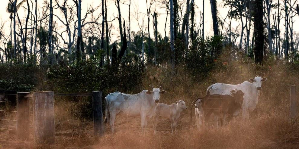 Diese Kühe weiden  auf einem Grundstück innerhalb des Manoki-Indianergebietes im Bundesstaat Mato Grosso im brasilianischen Amazonasgebiet, August 2019.© Marizilda Cruppe/Amnesty International
