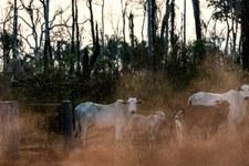 Illegale Rinderfarmen zerstören Amazonas-Regenwald