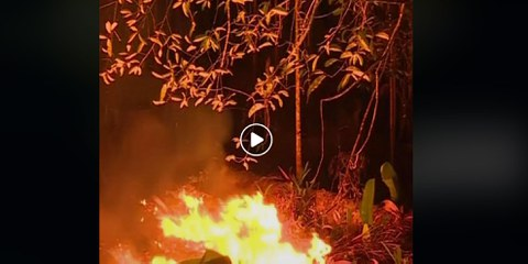 Rinder aus illegalen Weidegebieten im Amazonas