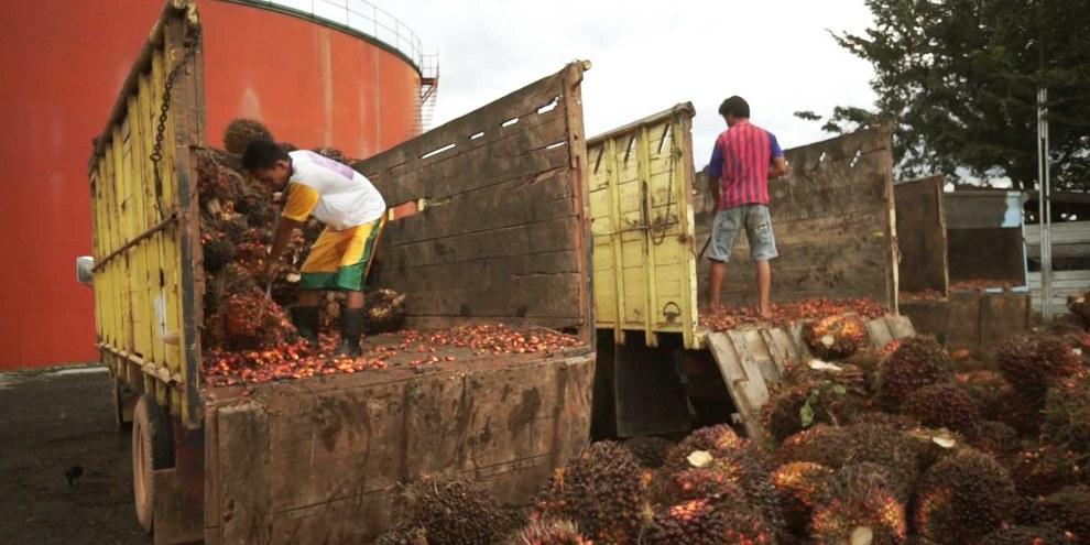 Préparation pour le transport des fruits de palmiers en Indonésie. © AI