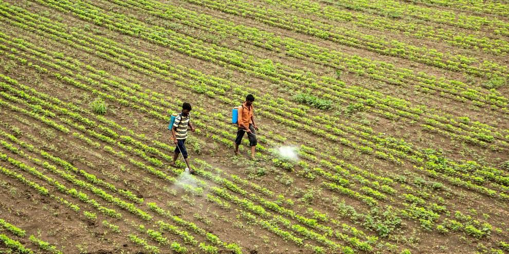 Nel 2017, nel distretto indiano di Yavatmal, centinaia di contadini sono stati vittime di intossicazioni dopo aver sparso dei pesticidi sui campi di cotone. ©Shutterstock / CRS photo