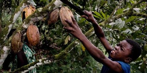 Diversi paesi hanno già adottato una legislazione basata sui Principi guida delle Nazioni Unite su imprese e diritti umani: tra questi i Paesi Bassi che nel 2017 hanno adottato una legislazione contro il lavoro minorile. Qui una piantagione di cacao in Costa d'Avorio. ©Daniel Rosenthal/ Laif