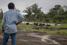 Allevamento illegale di bovini in Amazzonia: coinvolta anche la catena di fornitura di JBS, il più grande produttore di carne al mondo.
