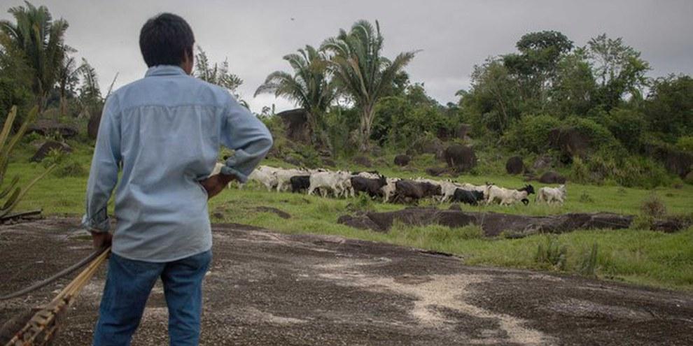 Un indigeno sorveglia il bestiame nelle vicinanze del territorio degli Uru-Eu-Wau-Wau, nello stato di Rondônia. I pascoli illegali sono uno dei principali motivi della deforestazione dell'Amazzonia. © Gabriel Uchida